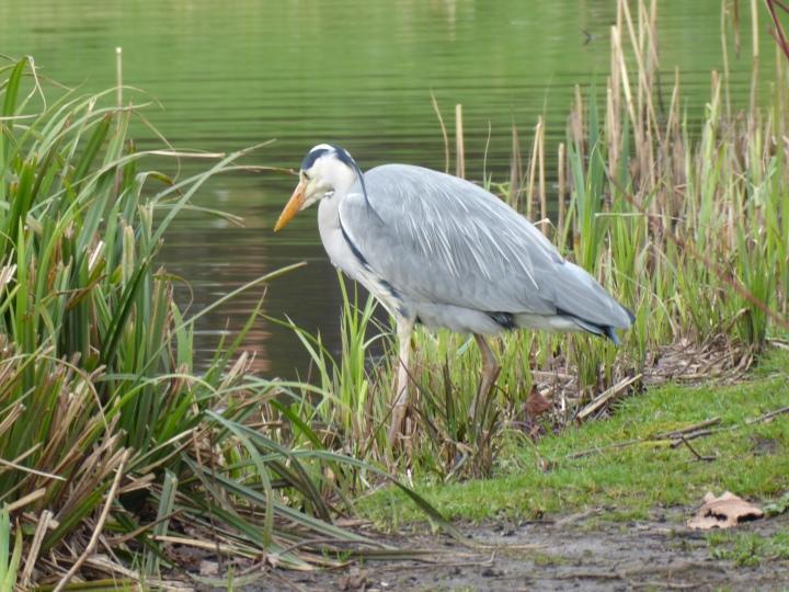 Sefton Park Heron 02