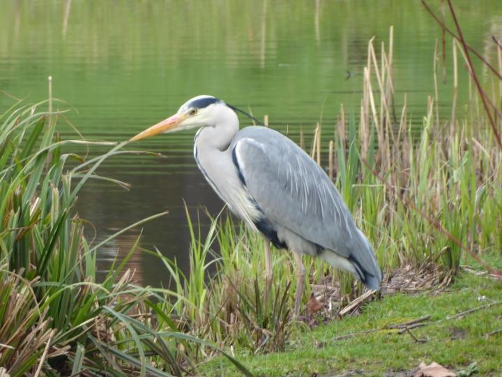 Sefton Park Heron 04