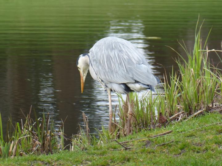 Sefton Park Heron 05
