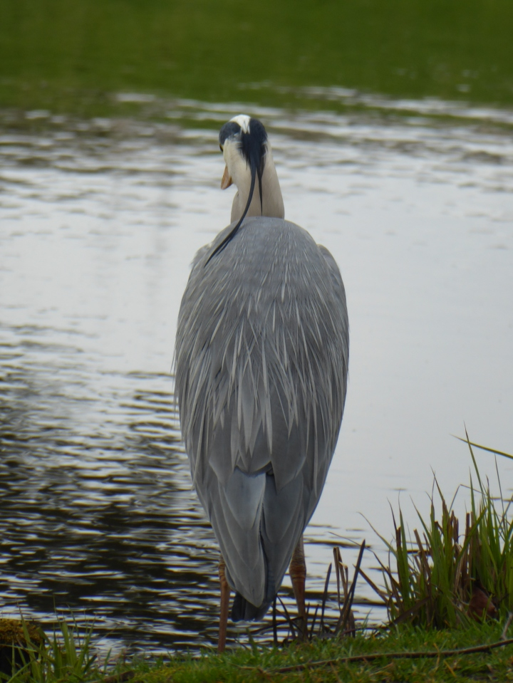 Sefton Park Heron 06