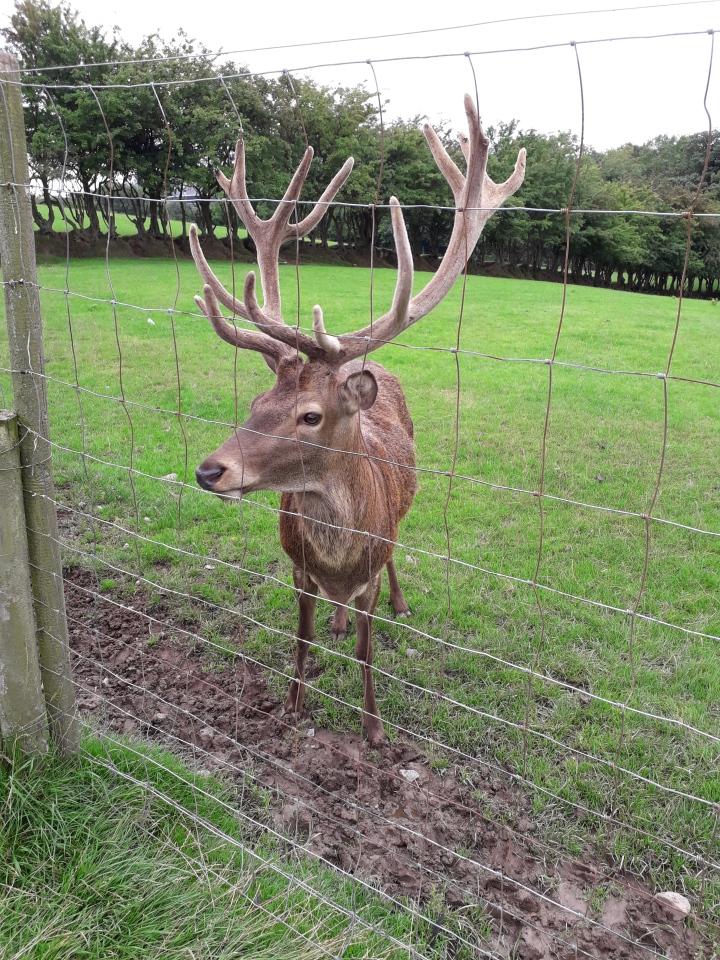 Streamvale deer