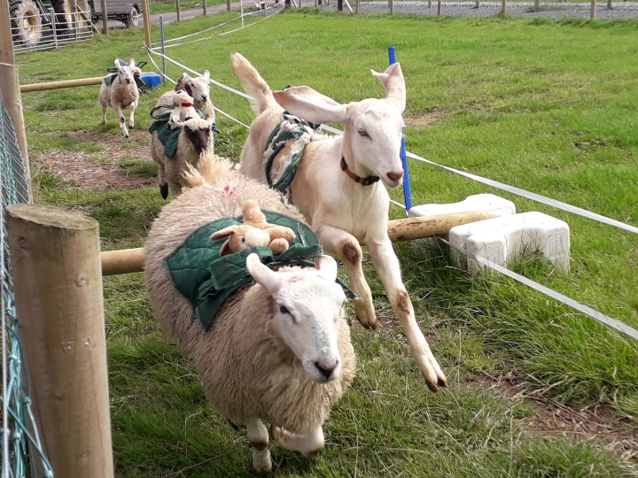 Streamvale sheep racing