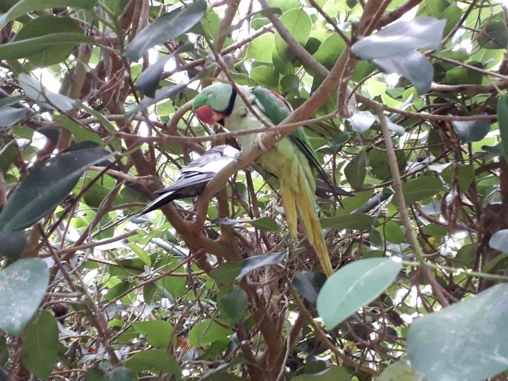 Seaforde parrots